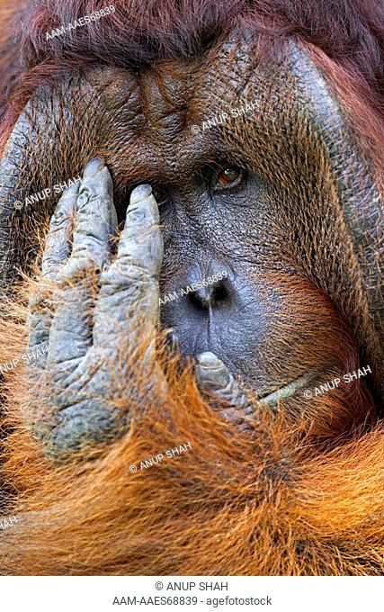 Bornean Orangutan mature male 'Tom' scratching head portrait (Pongo pygmaeus wurmbii). Camp Leakey, Tanjung Puting National Park, Central Kalimantan, Borneo