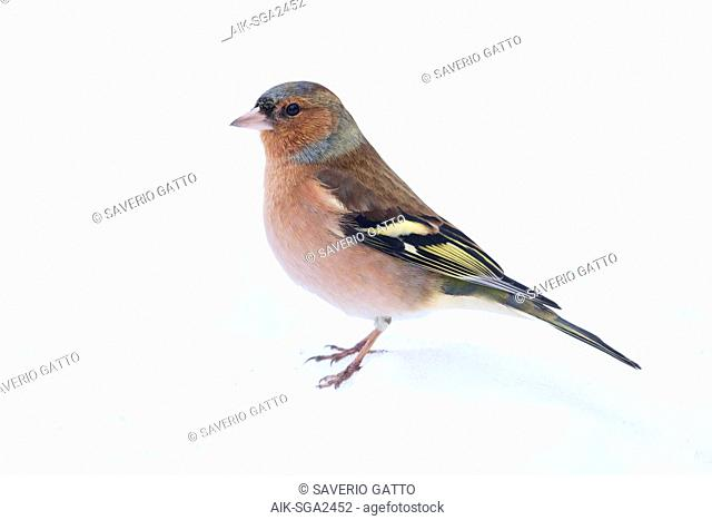 Common Chaffinch (Fringilla coelebs), adult male in winter plumage standing in the snow