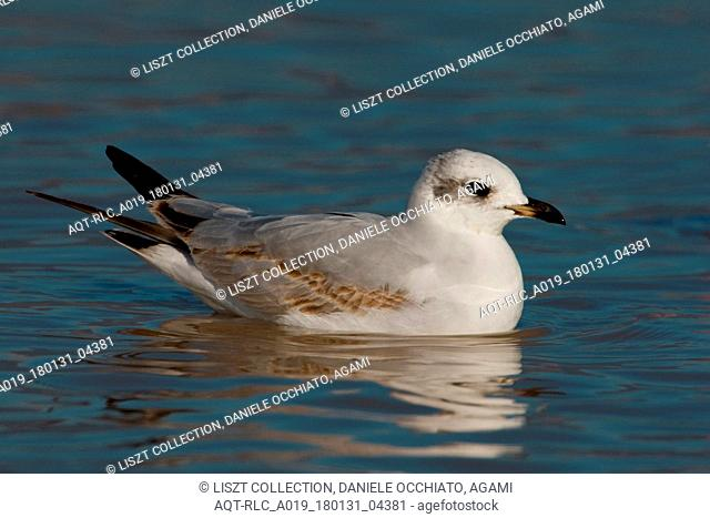 Immature Mediterranean Gull at sea, Mediterranean Gull, Ichthyaetus melanocephalus