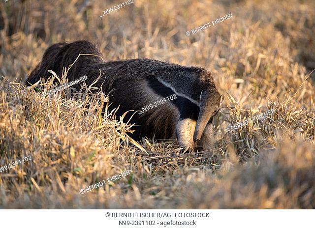 Giant anteater (Myrmecophaga tridactyla), walking through dry savannah grassland, Mato Grosso do Sul, Brazil