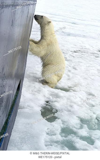 Curious Polar Bear (Ursus maritimus) springing on ship's hull and trying to enter through a porthole, Svalbard Archipelago, Norway