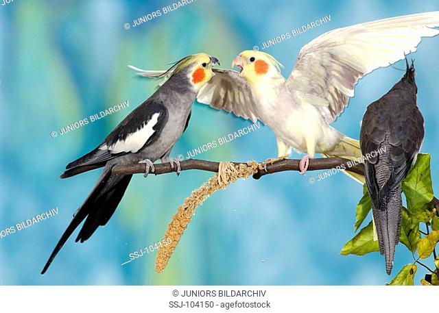three cockatiels on branch - two quarrelling / Nymphicus hollandicus