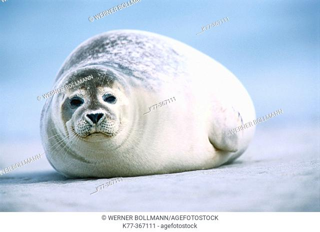 Harbour seal (Phoca vitulina). Island of Helgoland. Germany