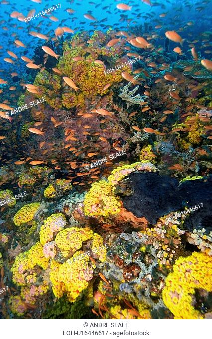 Reef wall covered with orange cup coral, Tubastrea faulkneri, Verde Island, Philippines