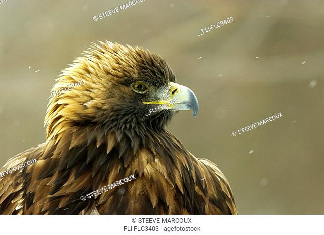 Captive Golden Eagle, Aquila chrysaetos, Ecomuseum, Ste-Anne-de-Bellevue, Quebec, Canada