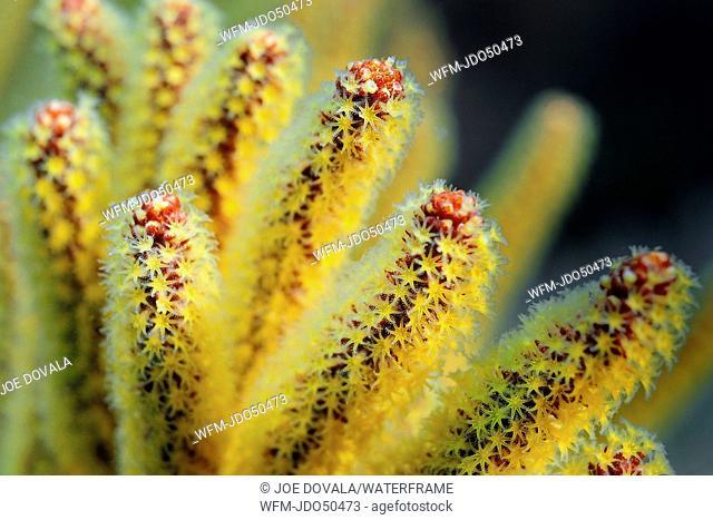 Detail of Golden Gorgonian, Muricea californica, Anacapa Island, California, USA