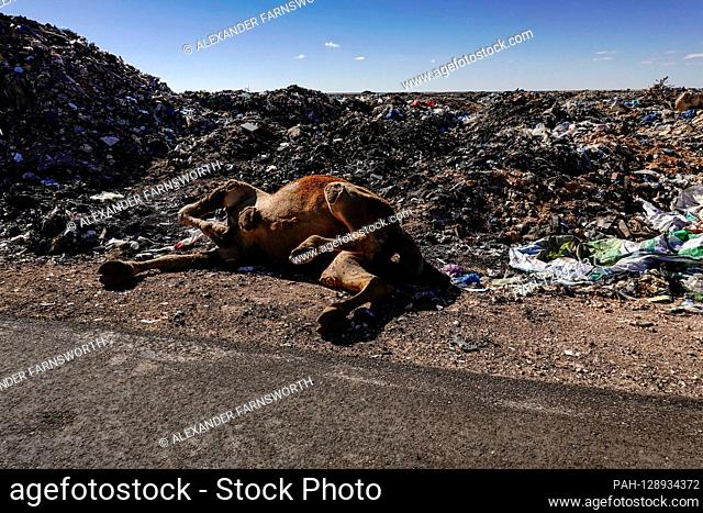 Marsa Matruh, Egypt A public landfill out in the desert where the garbage is burned. A dead camel.   usage worldwide. - Marsa Matruh/Egypt