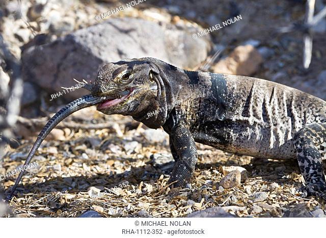 San Esteban spiny-tailed iguana Ctenosaura conspicuosa eating smaller lizard, Isla San Esteban, Gulf of California Sea of Cortez, Baja California, Mexico