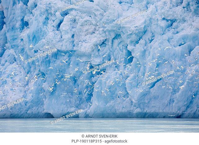 Kittiwakes flying in front of Smeerenburgbreen, calving glacier near Reuschhalvøya, Bjørnfjorden, inner part of Smeerenburgfjorden, Svalbard, Norway
