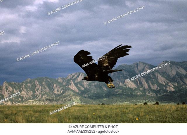 Golden Eagle (Aquila chrysaetos) Colorado