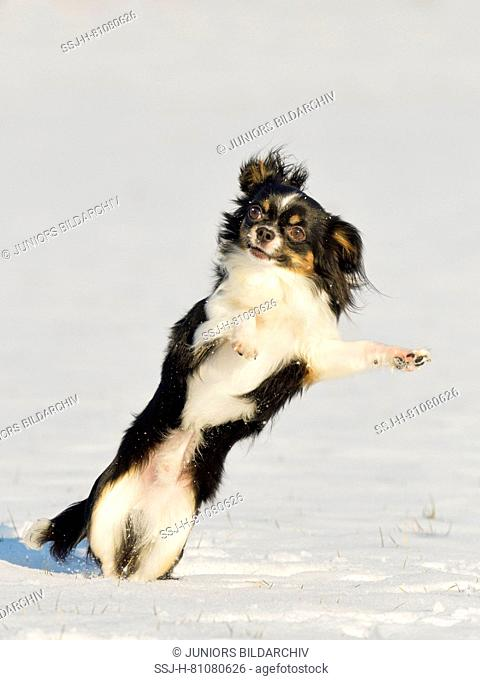 Chihuahua. Adult dog leaping in snow. Germany