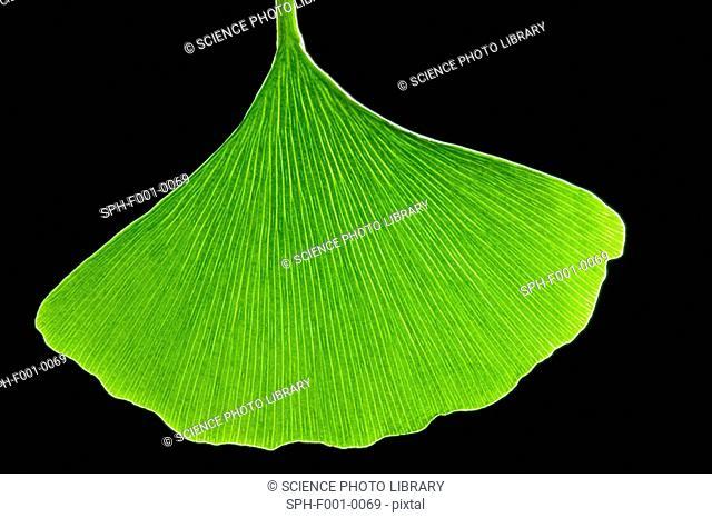 Ginkgo leaf, computer artwork