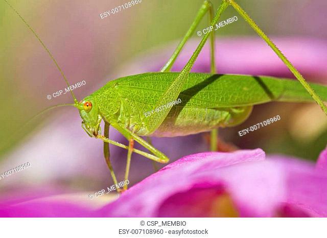 Sickle-bearing Bush-cricket (Phaneroptera falcata)