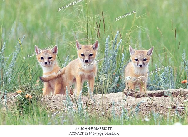 Wild swift fox pups on the Canadian Prairies. Swift fox are an endangered species in Canada
