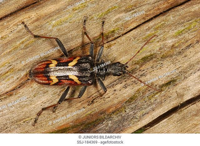 Two-banded Longhorn Beetle (Rhagium bifasciatum) on wood. Germany