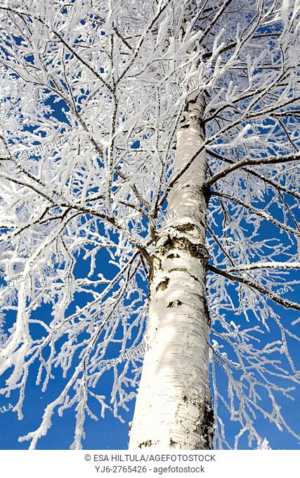 frosty birch against blue sky, Finland Europe