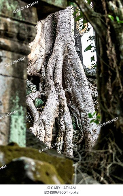 Overgrown tree roots at Ta Prohm Temple ruins at Angkor Wat, Siem Reap, Cambodia