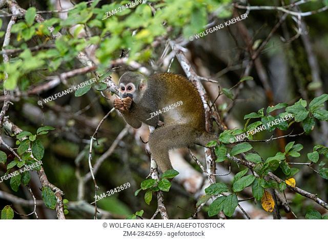 A Squirrel monkey feeding on a seed in a tree in the rain forest near La Selva Lodge near Coca, Ecuador
