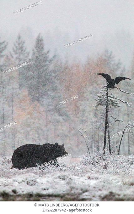 Brown bear, Ursus arctos walking in forest in snow storm and a raven flying above with birches in yellow autumn colors, Kuhmo, Finland