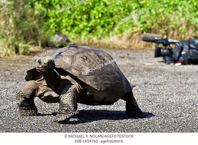 Wild Galapagos giant tortoise Geochelone elephantopus in Urbina Bay, Isabela Island in the Galapagos Island Archipelago, Ecuador