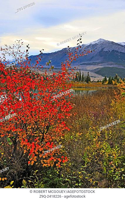 The red colored leaves on this bush along the shore of Talbot Lake in Jasper National Park, Alberta Canada add a splash of brilliance to the otherwise cloud...