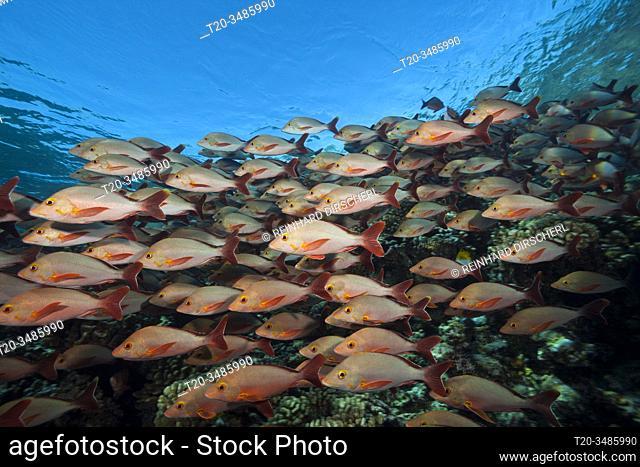 Shoal of Humpback Snapper, Lutjanus gibbus, Fakarava, Tuamotu Archipel, French Polynesia