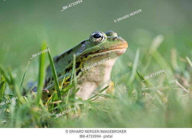 Green frog (Rana esculenta), sits in the grass, Lower Saxony, Germany