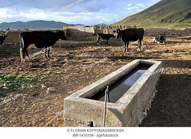 Cows and trough, dairy cow farming, Altiplano Bolivian highland, Oruro Department, Bolivia, South America