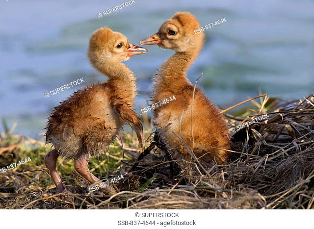 Two Sandhill cranes Grus canadensis baby chicks facing off at a nest