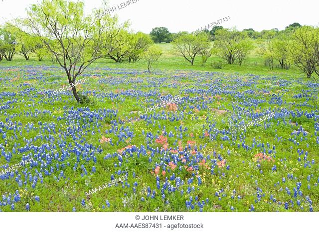 field of bluebonnets (Lupinus texensis) and paintbrush (Castilleja sp) with trees in spring leaf in the Texas Hill Country, April 13, 2010