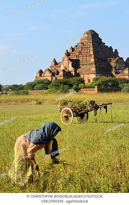 Myanmar, Bagan, Sesame harvest and Dhammayangyi pagoda