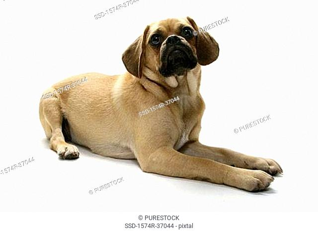 Puggle puppy looking up