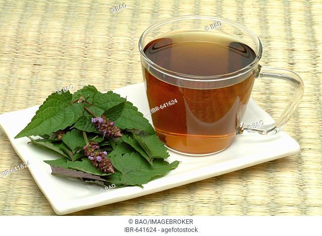 Korean Mint or Korean Hyssop (Agastache rugosa), herbal tea
