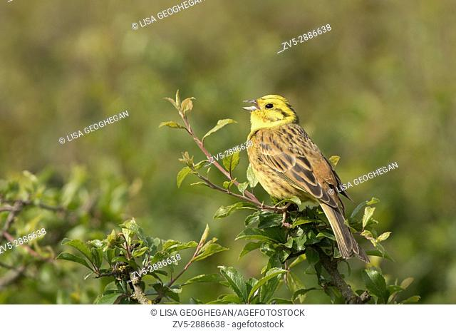 Male Yellowhammer-Emberiza citrinella in song. Spring. Uk