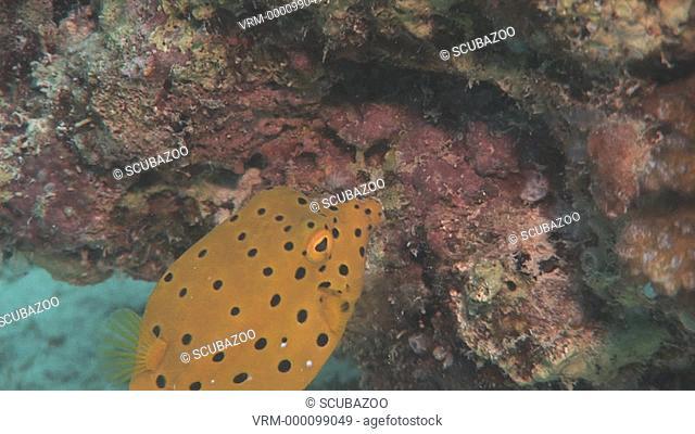 Close up Juvenile Yellow Boxfish Ostracion cubicus moves around coral, Kapalai, Borneo, Malaysia