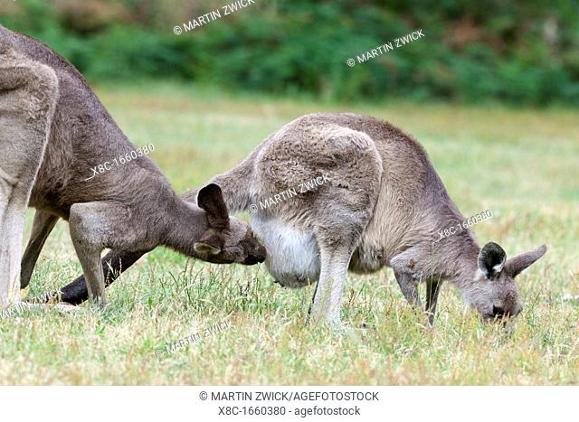 Eastern grey kangaroo Macropus giganteus, it is the second largest living marsupial and one of the icons of Australia Dominant bull is following a female in...