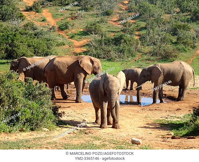Group of elephants Addo elephant national park of South Africa