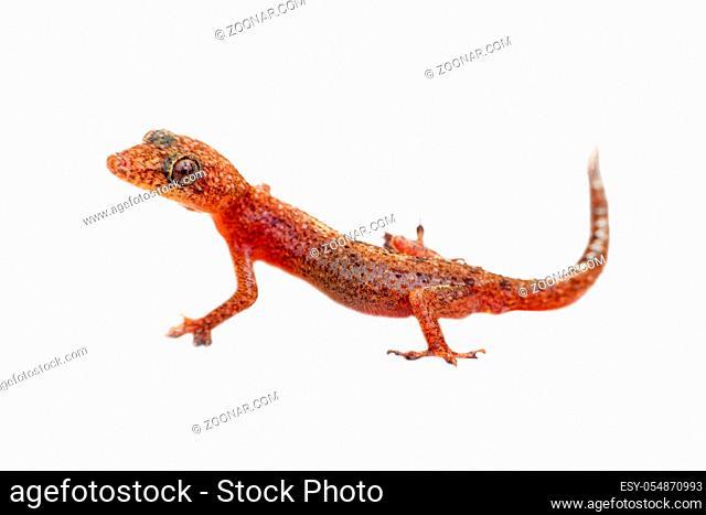 lizard Gecko on white background. amphibians of Southeast Asia