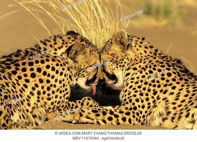 Cheetah grooming pair photographed in captivity on a farm