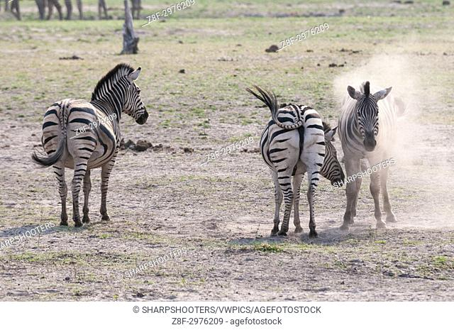 Common zebras (Equus quagga), Chobe National Park, Botswana