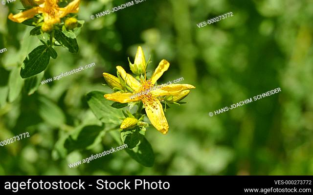 St. John's wort, medicinal plant with flower in summer in Germany
