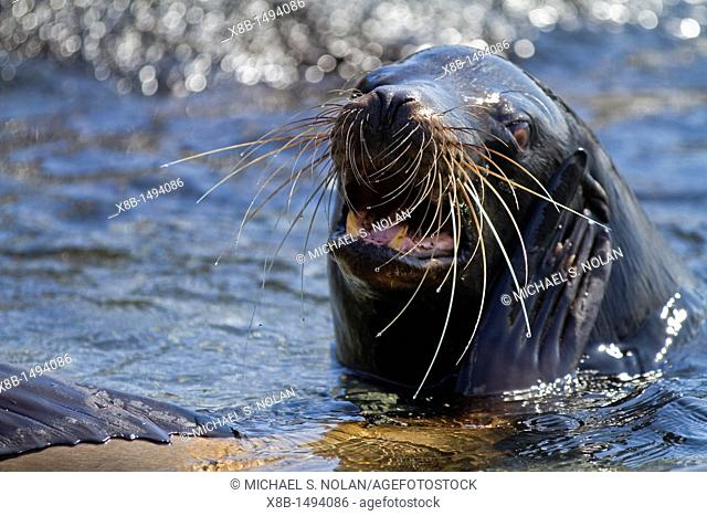 Adult bull Galapagos sea lion Zalophus wollebaeki posturing on Fernandina Island in the Galapagos Island Archipelago, Ecuador  MORE INFO The population of this...