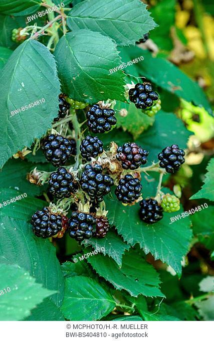 Shrubby blackberry (Rubus fruticosus 'Theodor Reimers', Rubus fruticosus Theodor Reimers), fruits of cultivar Theodor Reimers, Germany