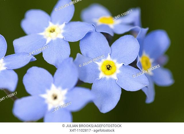 Close up of forget-me-not flowers Myosotis spp