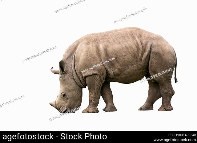 White rhino / Square-lipped rhinoceros (Ceratotherium simum) calf against white background