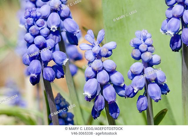 Grape Hyacinth, Muscari sp. Neither a Hyacinth nor a Grape and once classified with Lilies, perennial taxonomically confusing. Scilloideae. Bee plant