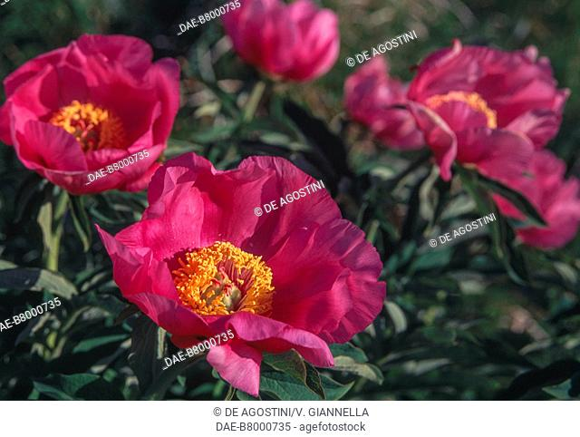 Common peony (Paeonia officinalis) flowers, Paeoniaceae, Anzasca Valley, Piedmont, Italy