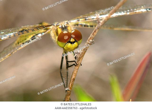 Calico Pennant (Celithemis elisa)