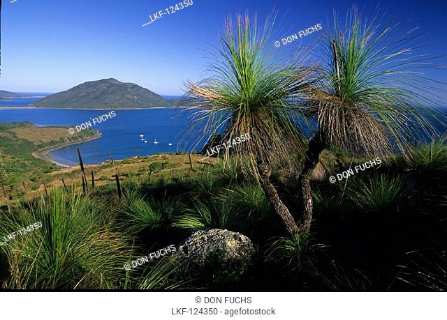 Grass trees on top of Mt. Oldfield on Lindeman Island, Whitsunday Islands, Great Barrier Reef, Australia