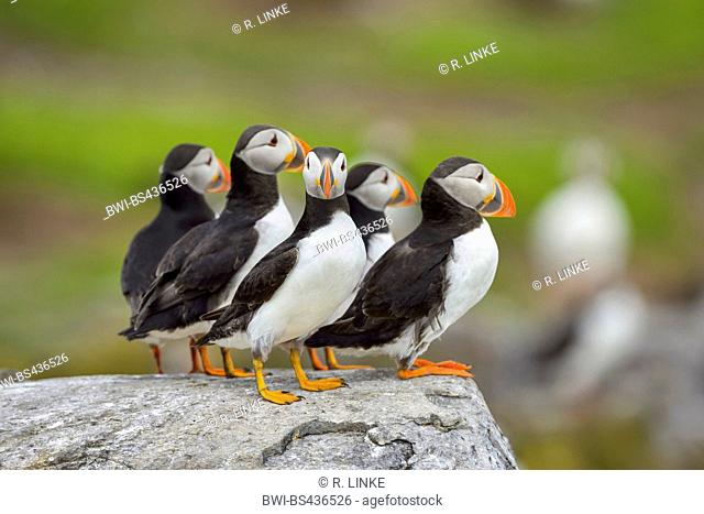 Atlantic puffin, Common puffin (Fratercula arctica), group on a rock, United Kingdom, England, Northumberland, Farne Islands